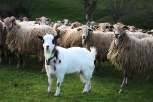Goat in flock of sheep