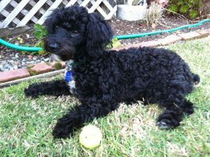 My dog Naboo, ready to learn
