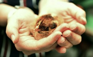 Hands tenderly holding a chick