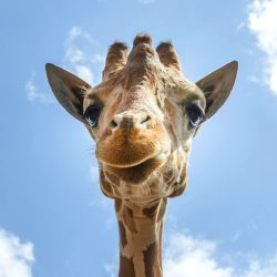 Giraffe rests its jaw