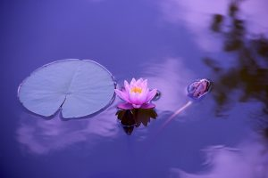 water lily on calm pond